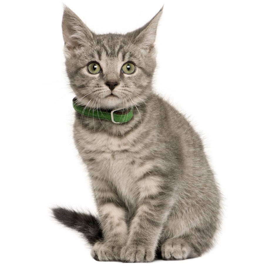 Kot w obroży chroniony przed kleszczami