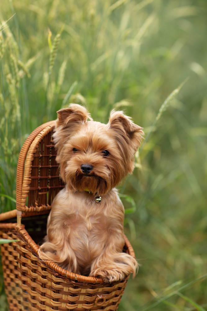 Mały pies w koszyku