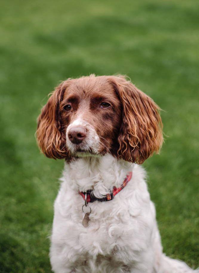 Pies na spacerze w obroży